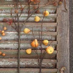 Pretty Fall Pear Stem