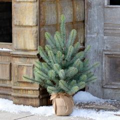 Burlap Wrapped Lighted Spruce Seedling, 24 Inch
