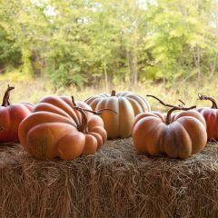 Kentucky Field Pumpkin Collection, Set of 5